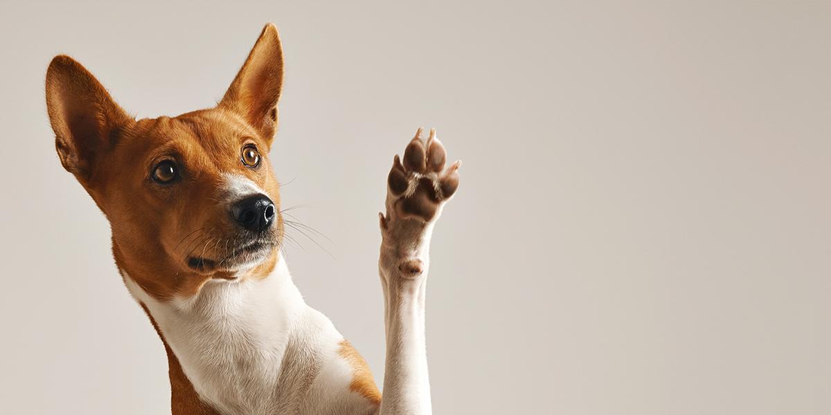 a dog waving