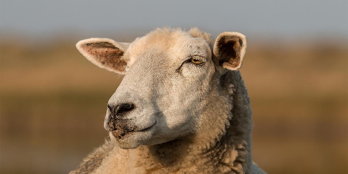 A sheep - sheep puns